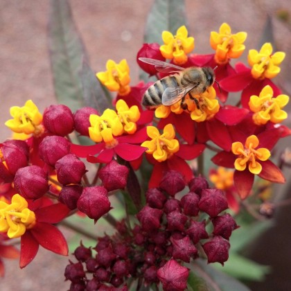 Asclepias silky deep red