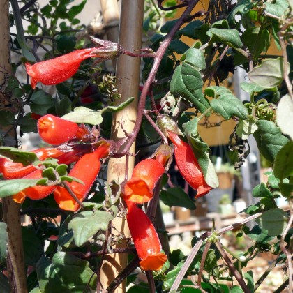eccremocarpus_scaber_cherry_red_chilean_glory_vine