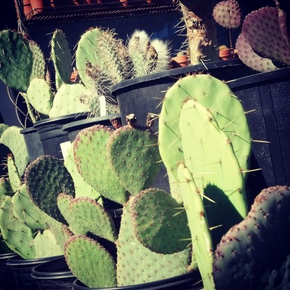 prickly pear cactus and beavertail cactus