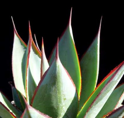 agave_blue_glow4