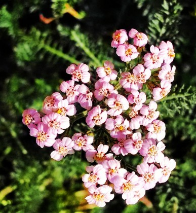 Achillea Lavender Beauty