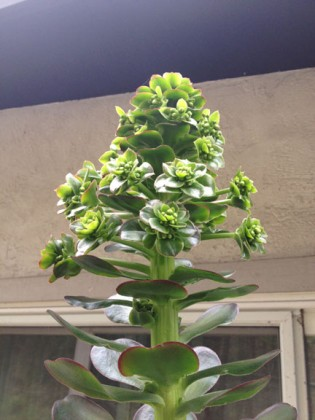 Aeonium Cyclops flower