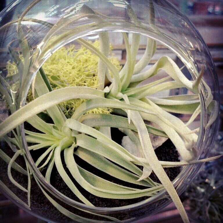 airplant_terrarium3