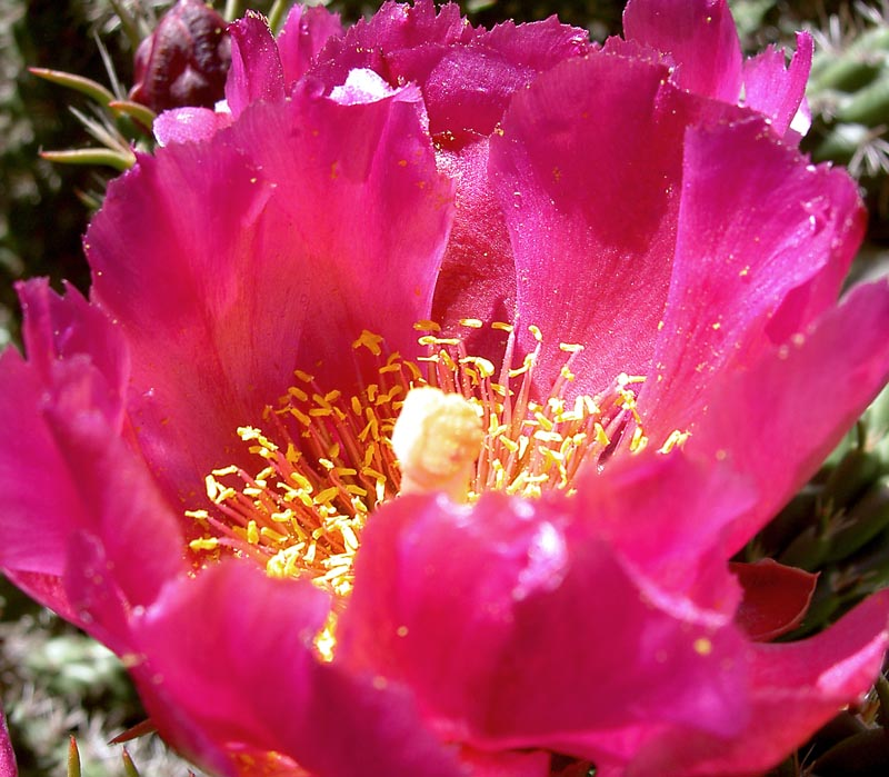 opuntia_prolifera_bloom